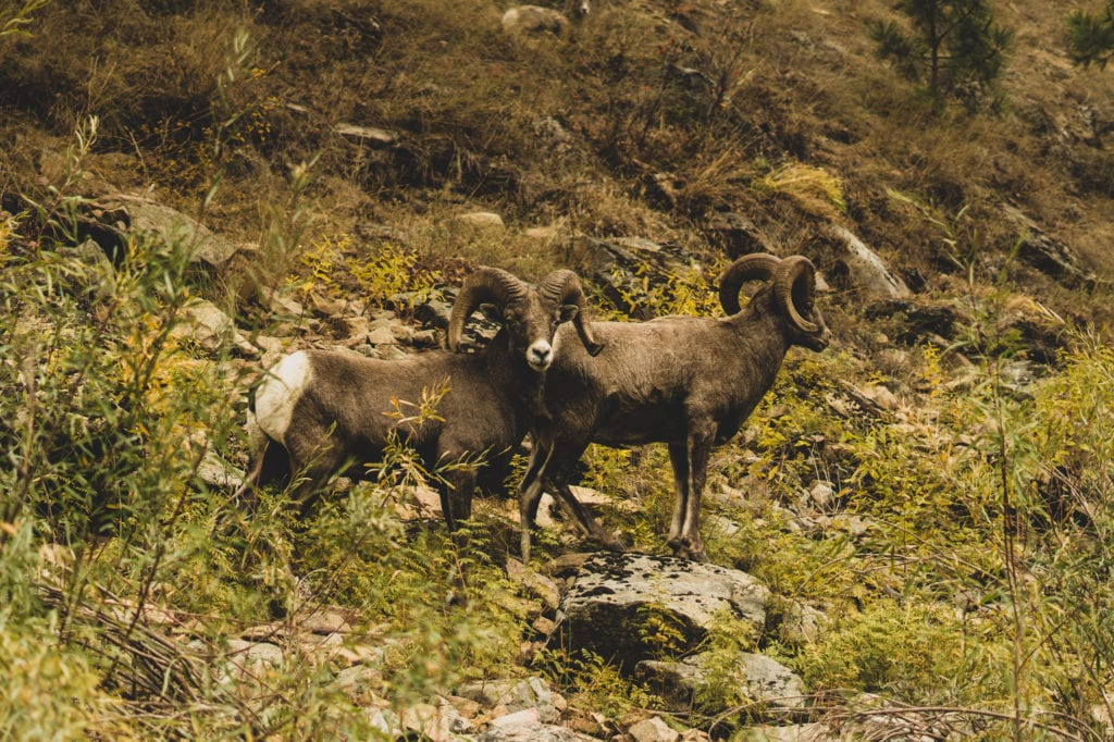 Salmon River Bighorn Sheep